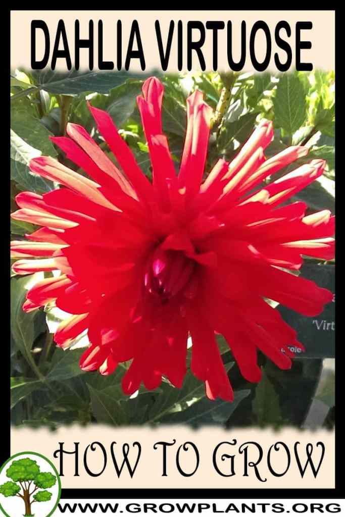 How to grow Dahlia Virtuose