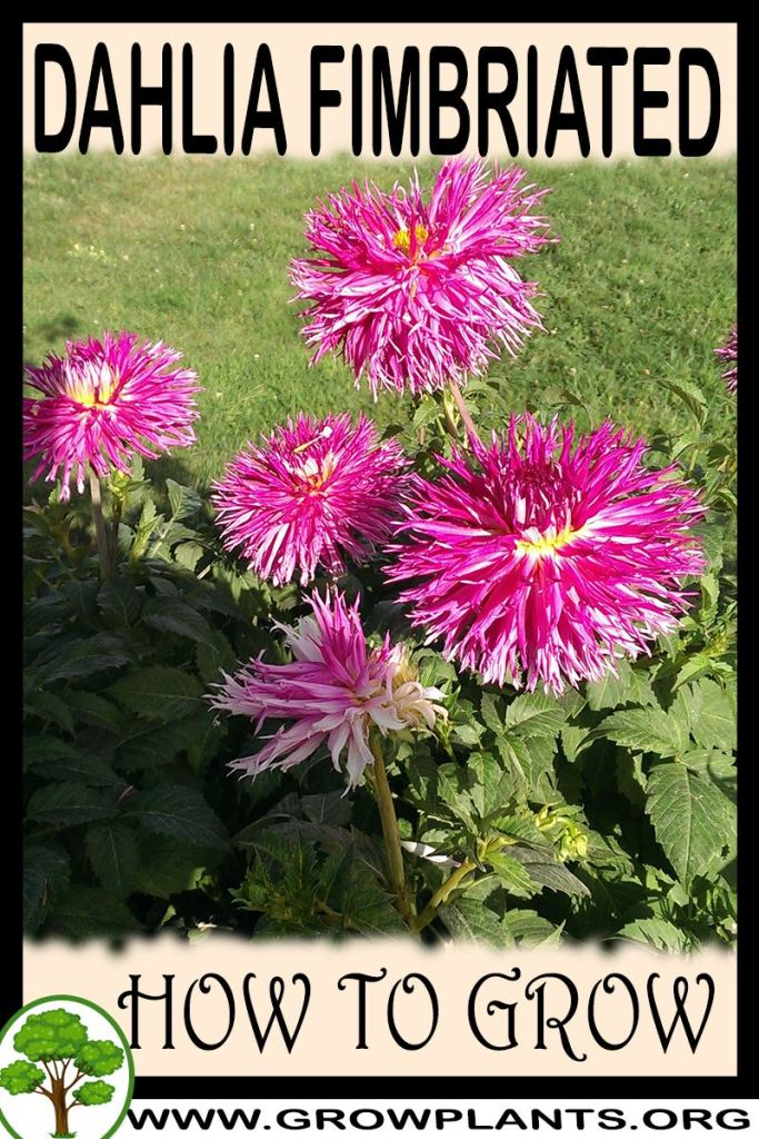 How to grow Dahlia fimbriated