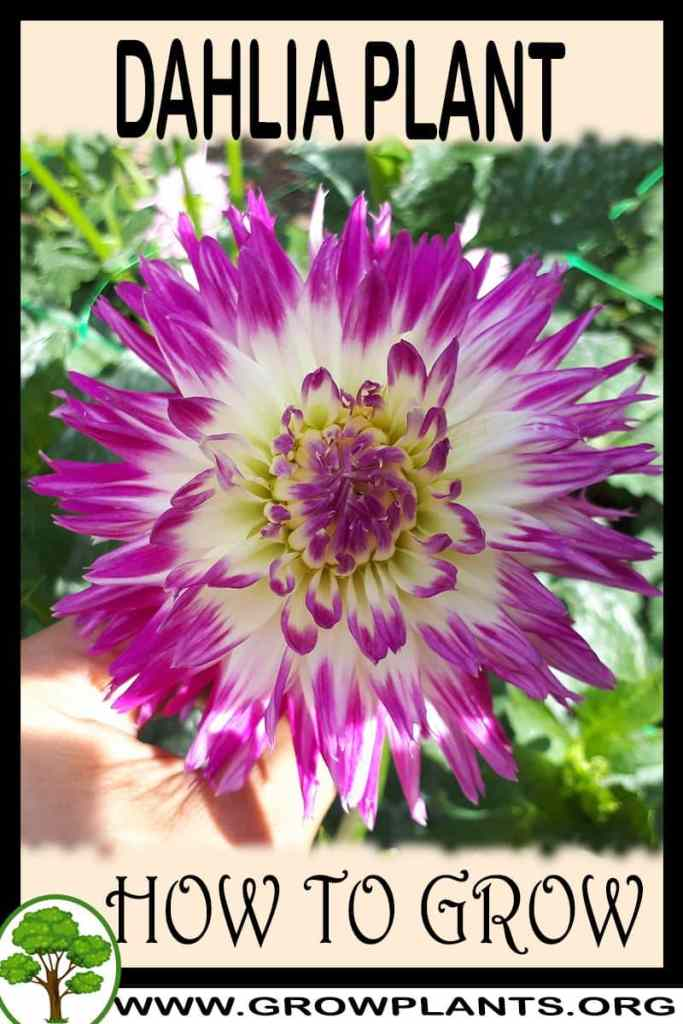 How to grow Dahlia plant