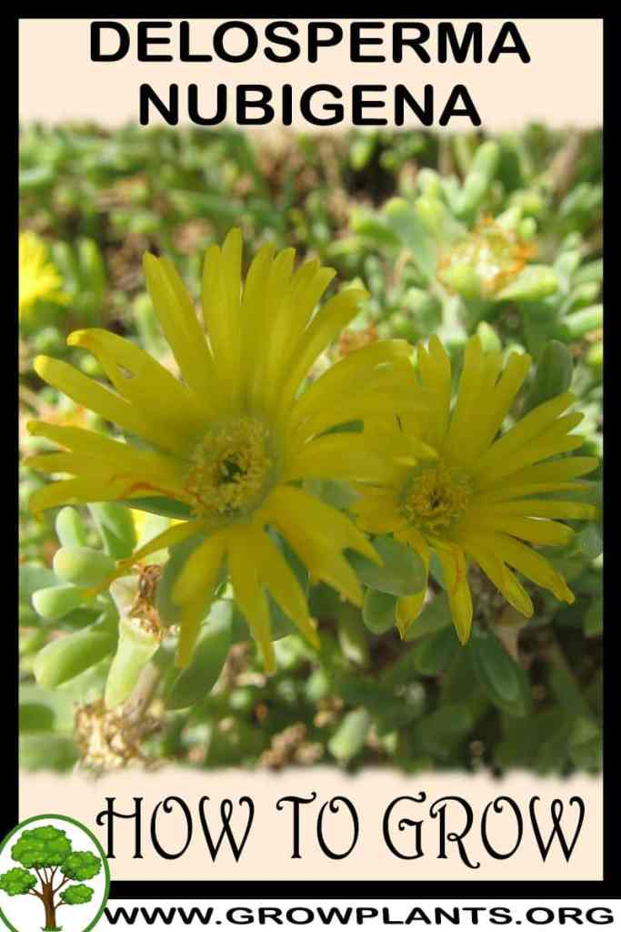 How to grow Delosperma nubigena