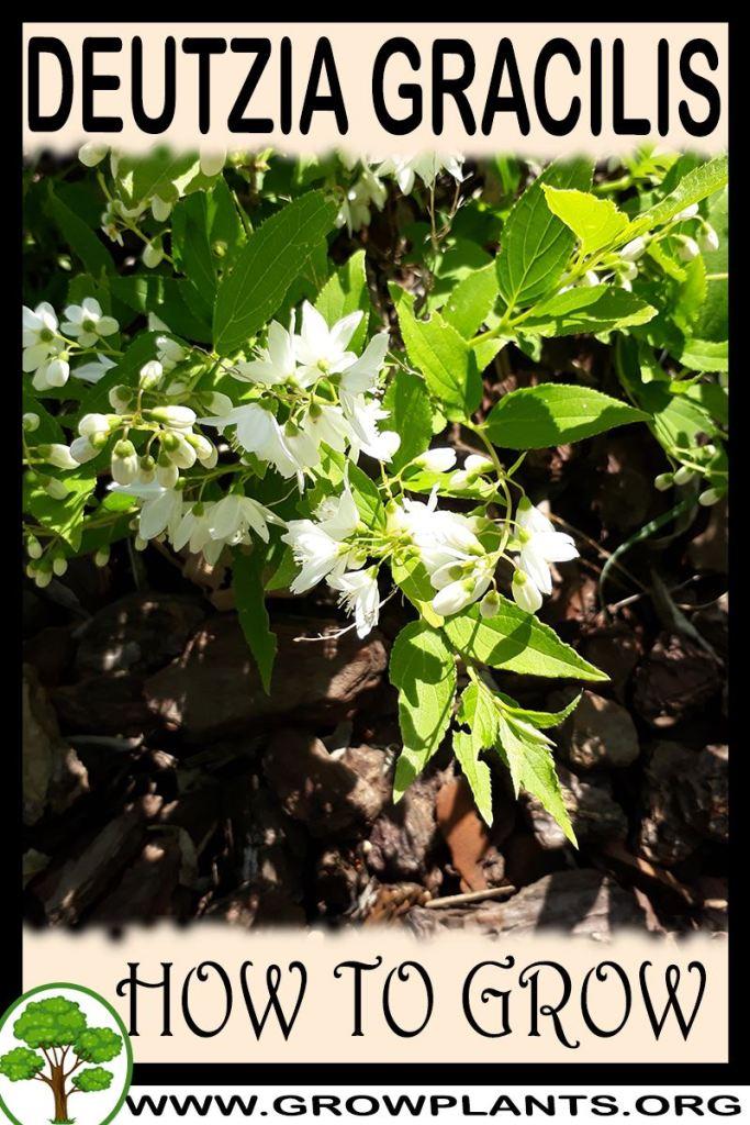 How to grow Deutzia gracilis