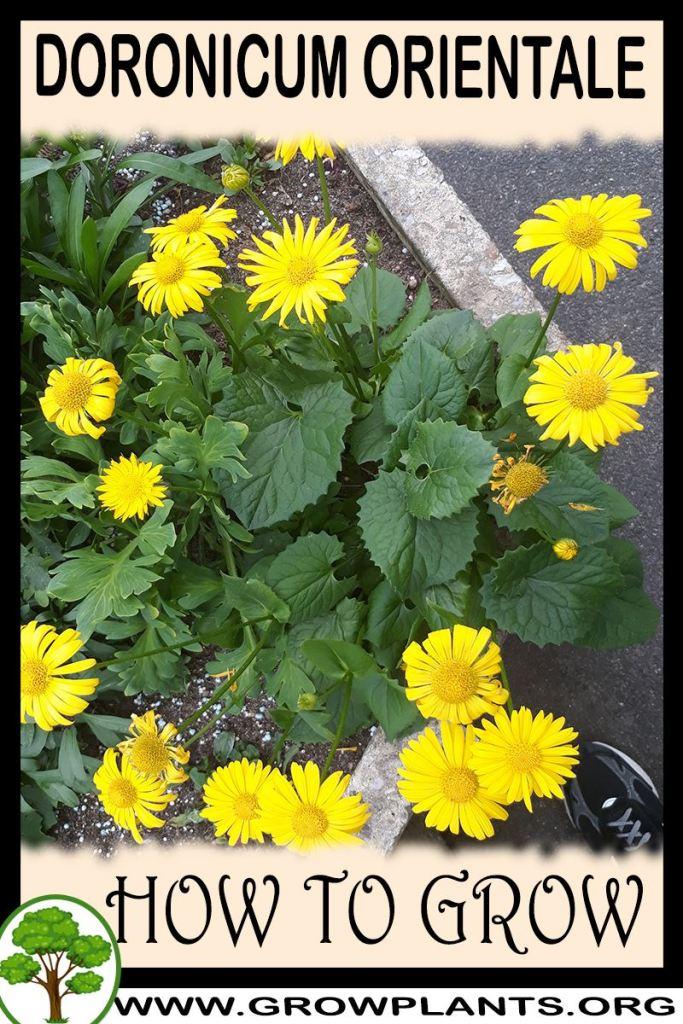 How to grow Doronicum orientale