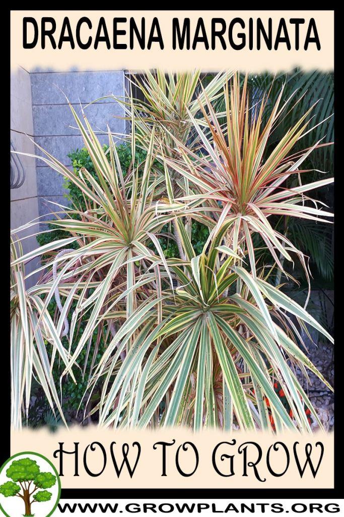 How to grow Dracaena marginata