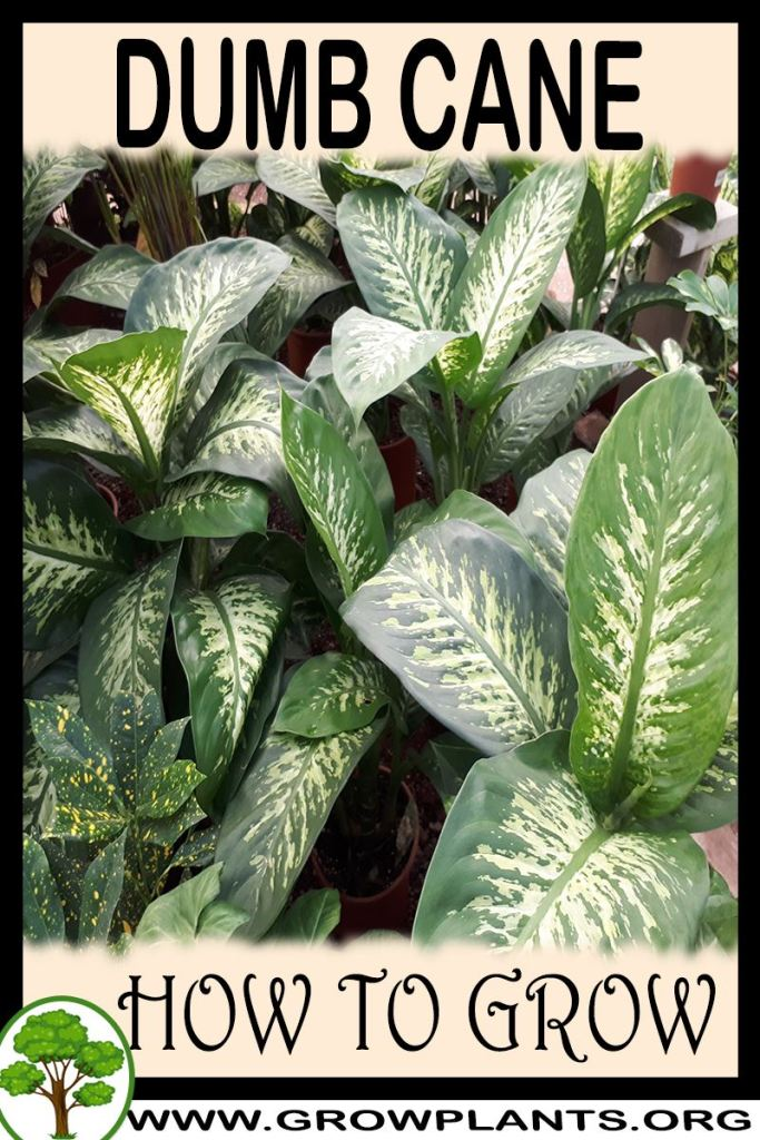 How to grow Dumb cane