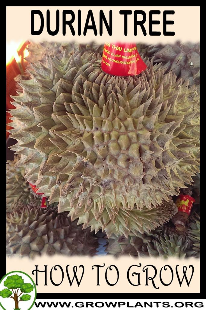 How to grow Durian