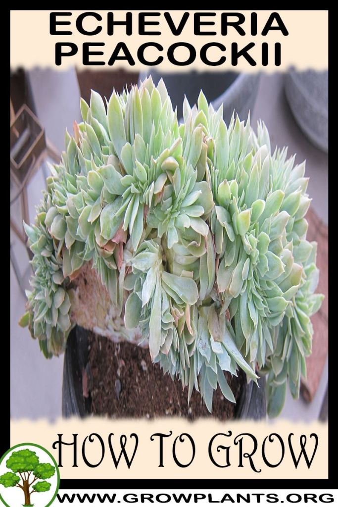 How to grow Echeveria peacockii