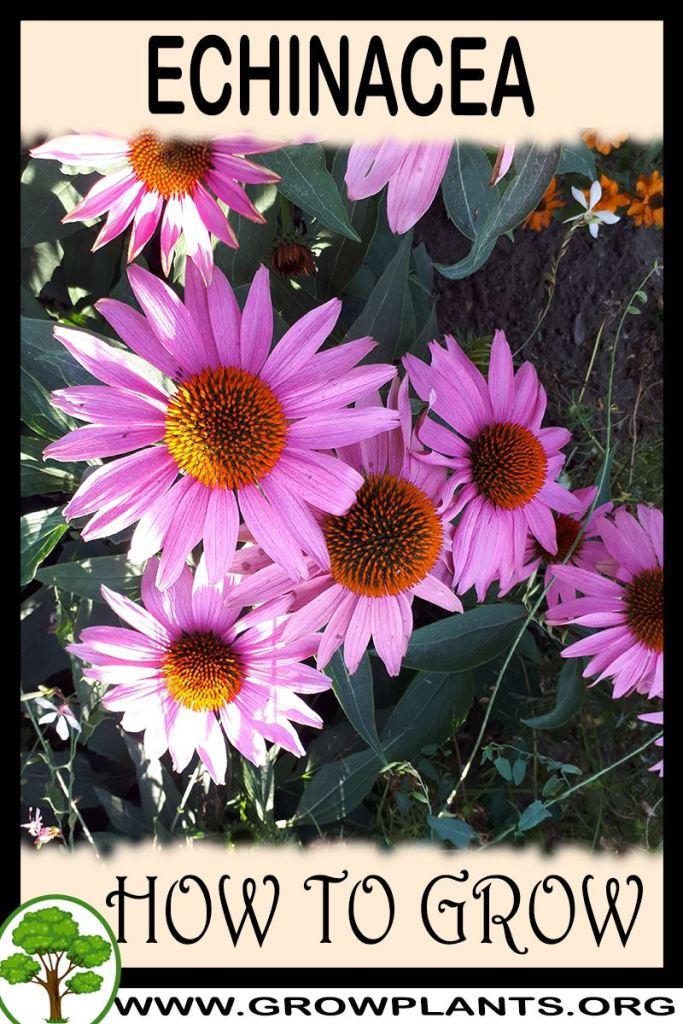 How to grow Echinacea