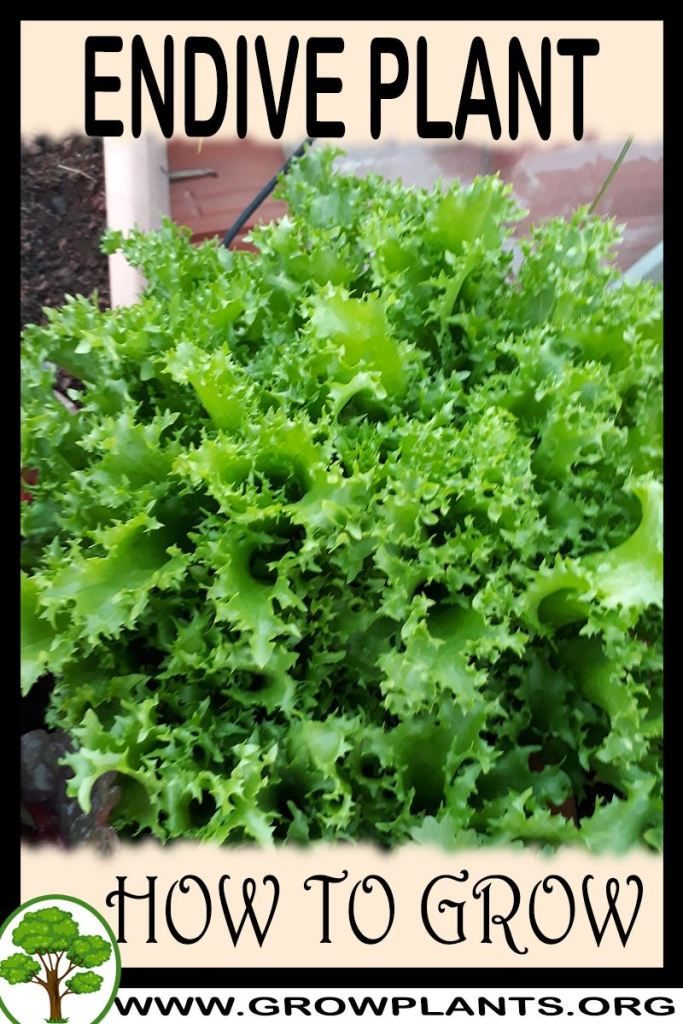 How to grow Endive plant
