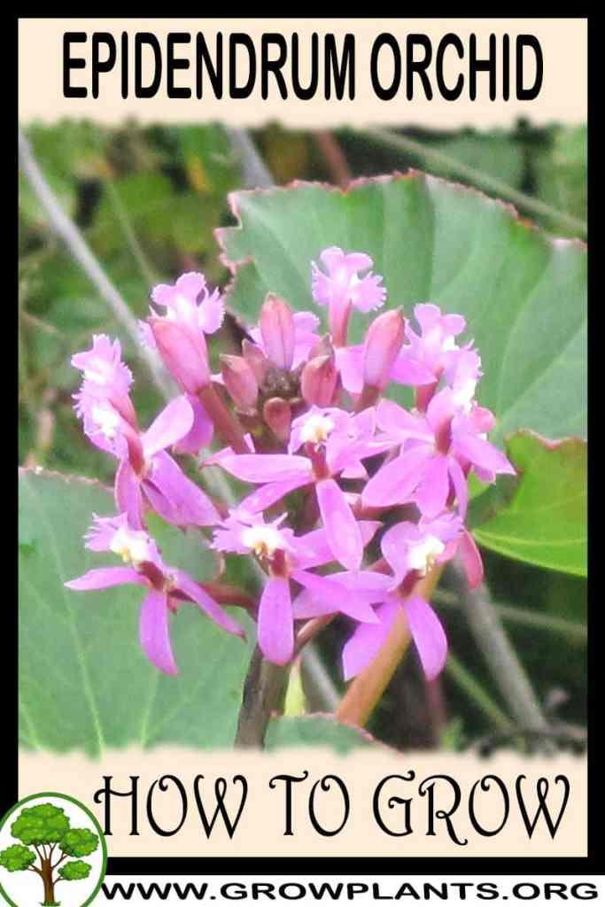 How to grow Epidendrum