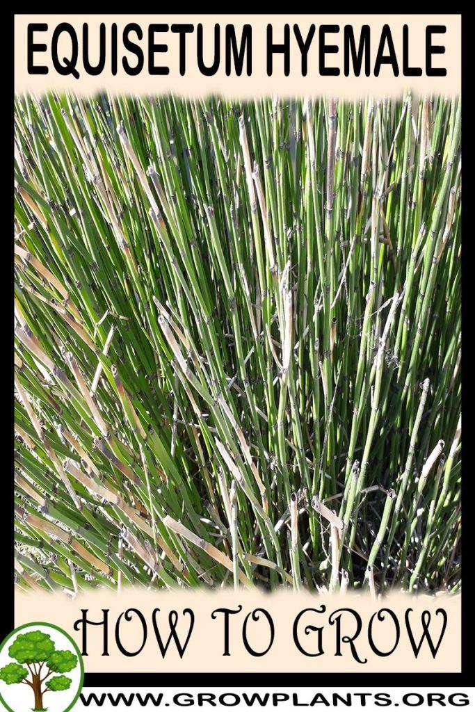 How to grow Equisetum hyemale