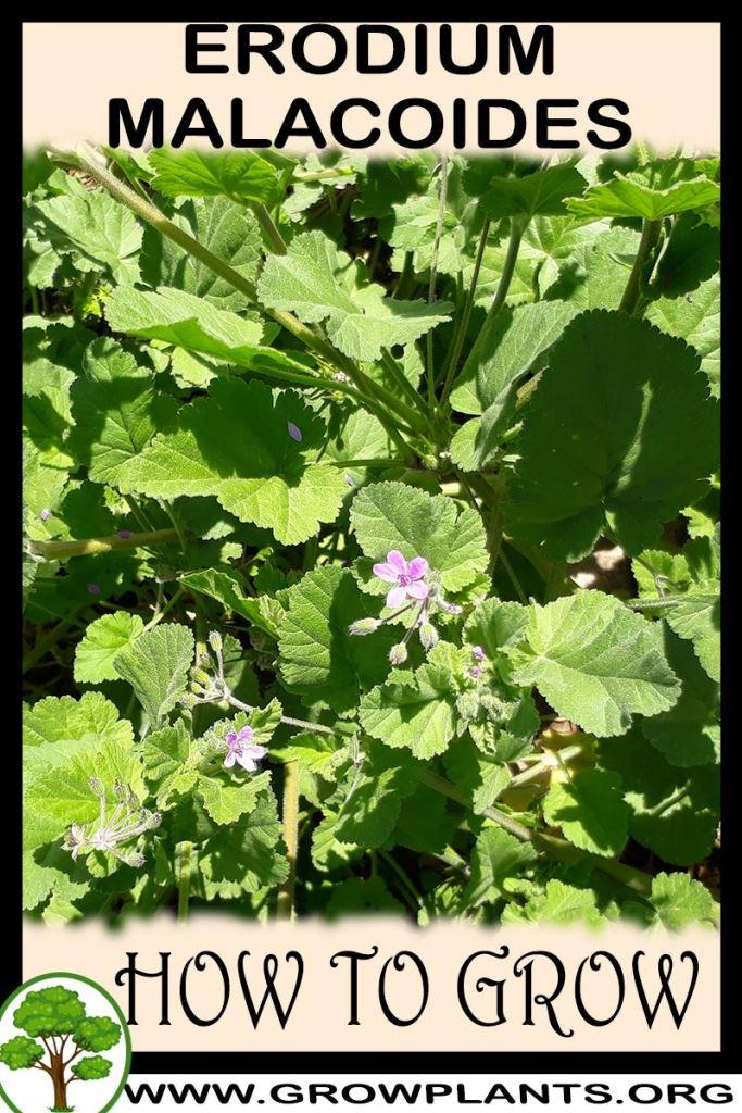 How to grow Erodium malacoides
