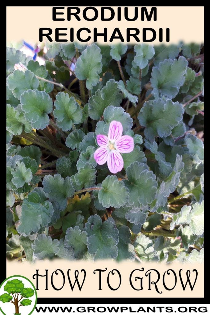 How to grow Erodium reichardii
