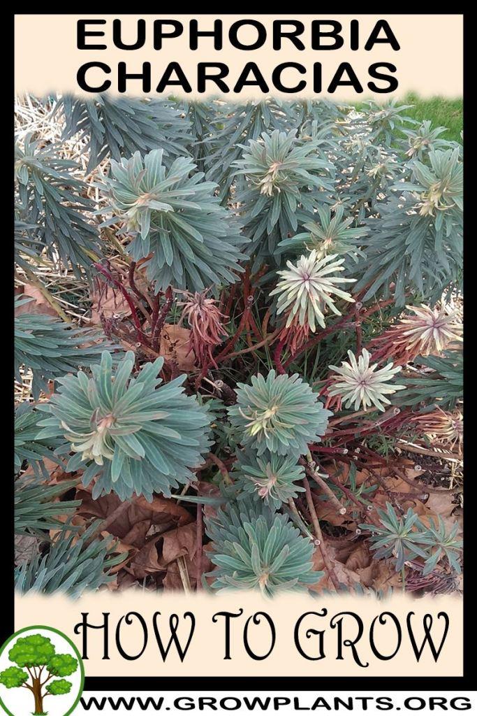 How to grow Euphorbia characias