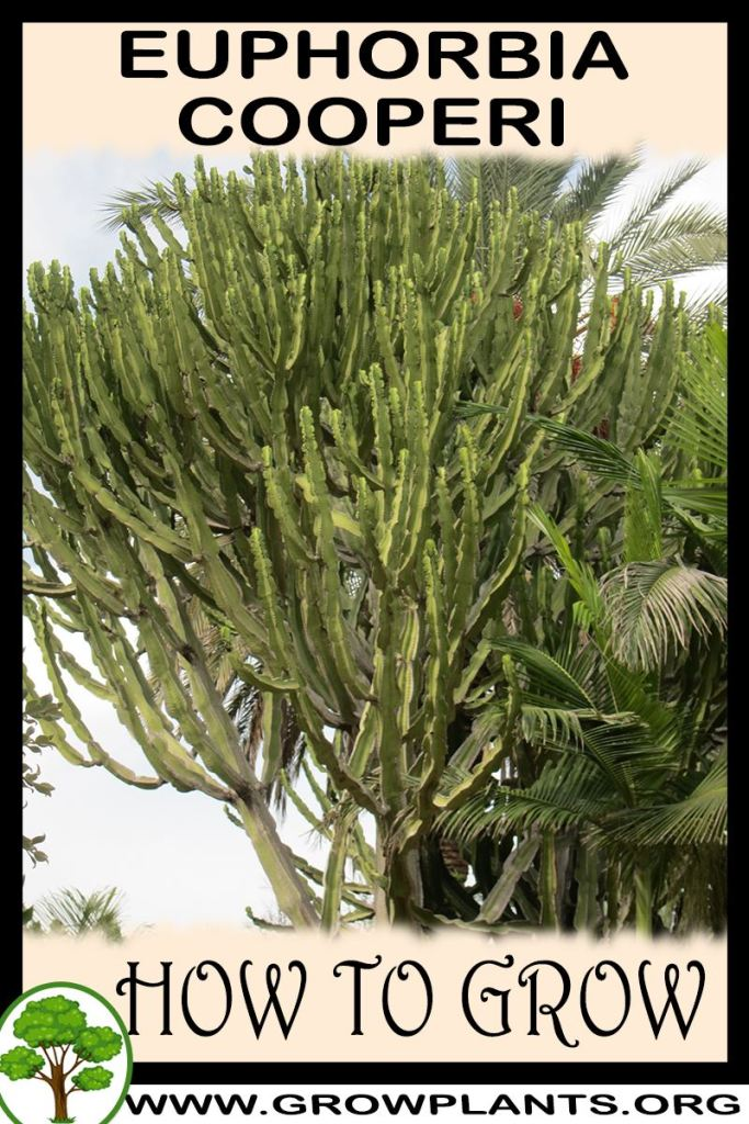 How to grow Euphorbia cooperi