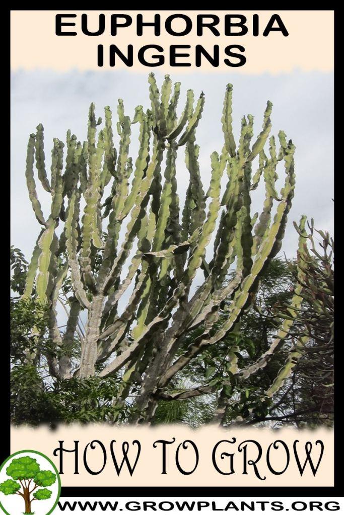 How to grow Euphorbia ingens