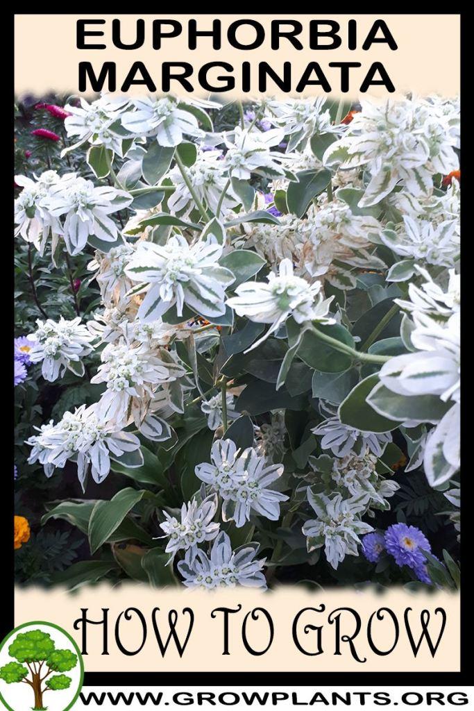 How to grow Euphorbia marginata