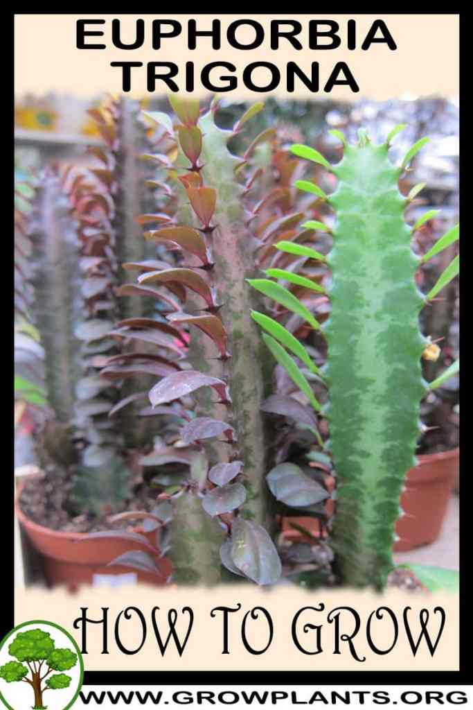 How to grow Euphorbia trigona