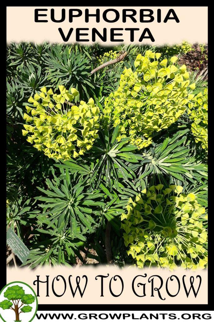 How to grow Euphorbia veneta