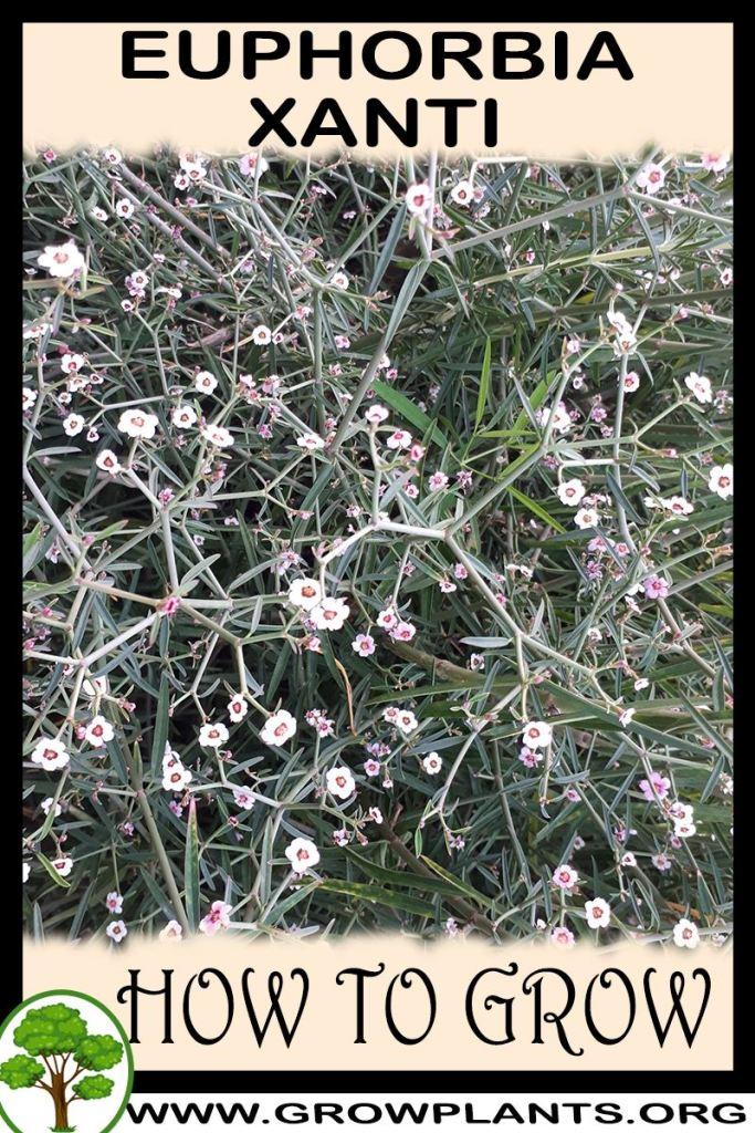 How to grow Euphorbia xanti