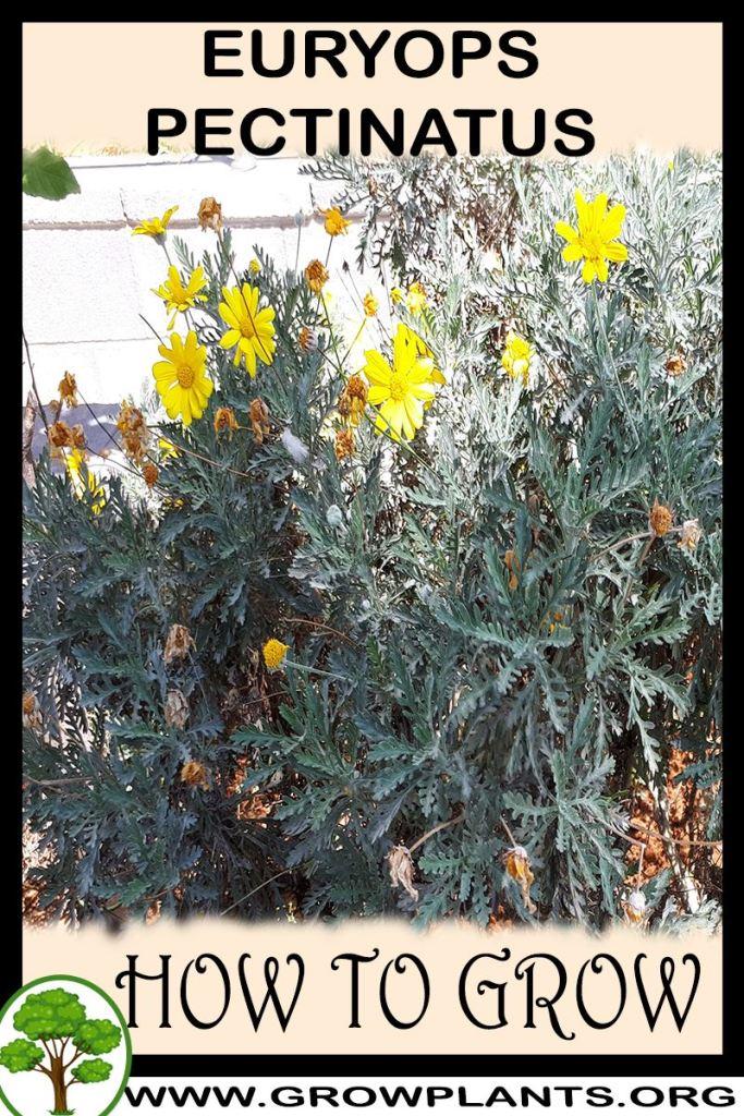 How to grow Euryops pectinatus