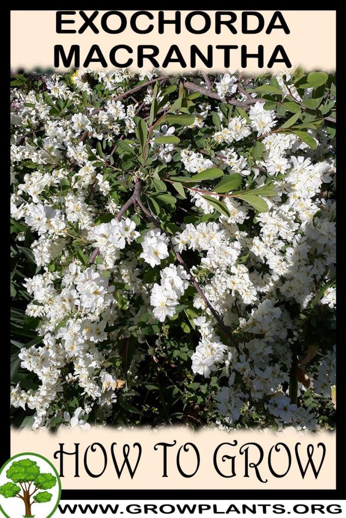 How to grow Exochorda macrantha