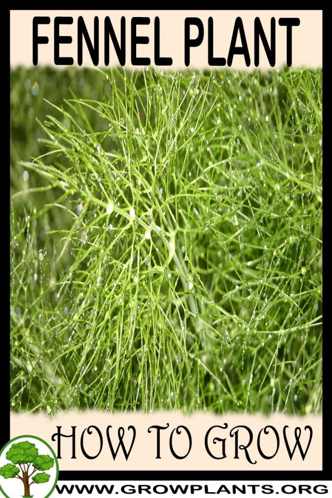 How to grow Fennel plant