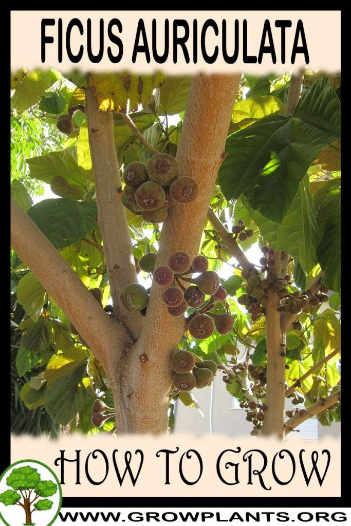 How to grow Ficus auriculata