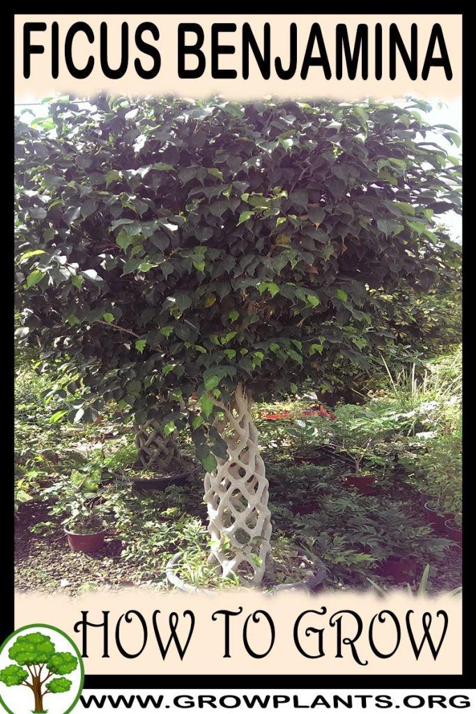 How to grow Ficus benjamina