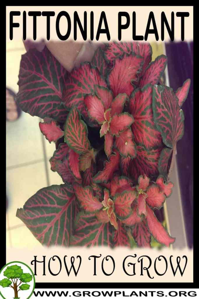 How to grow Fittonia