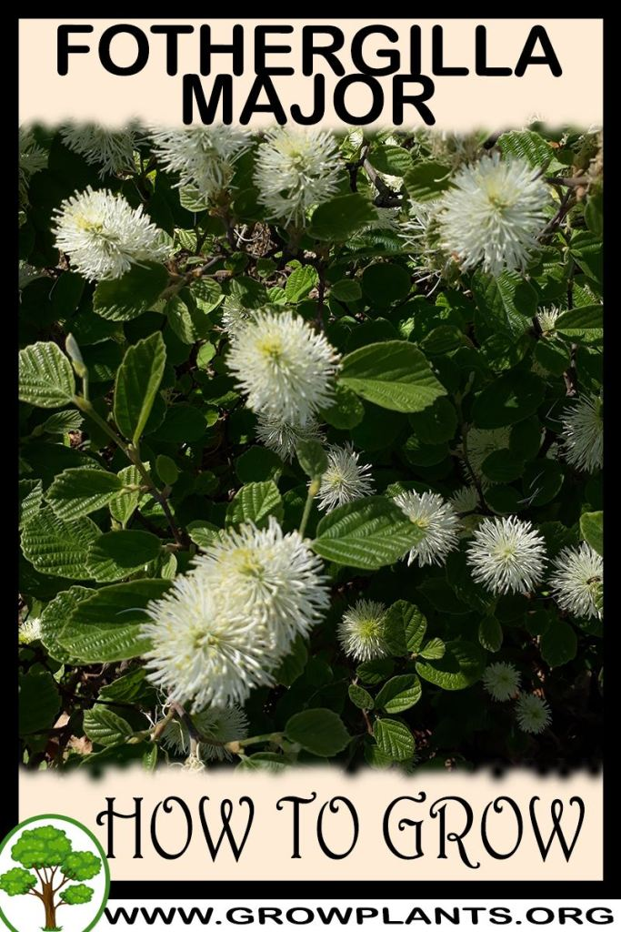 How to grow Fothergilla major