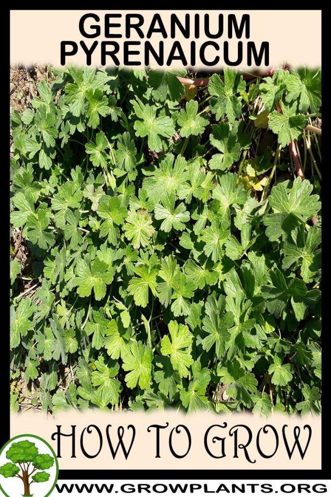 How to grow Geranium pyrenaicum