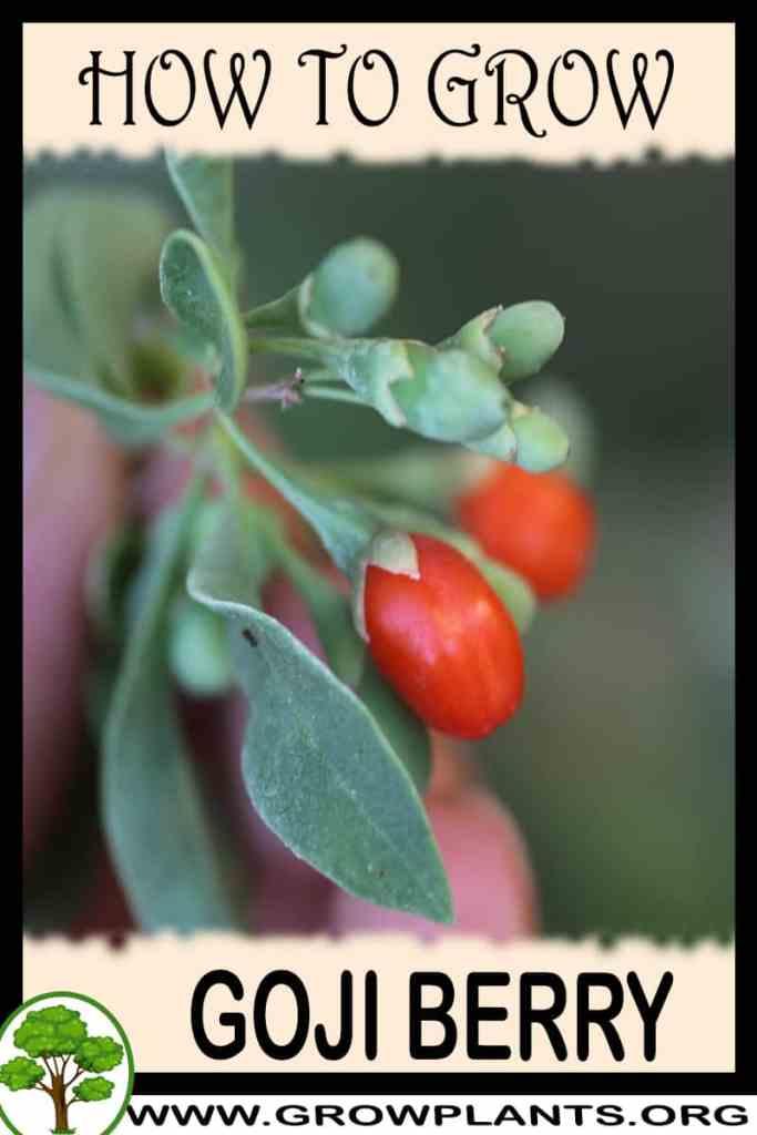 How to grow Goji berry