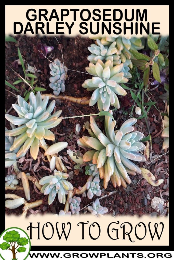 How to grow Graptosedum Darley sunshine