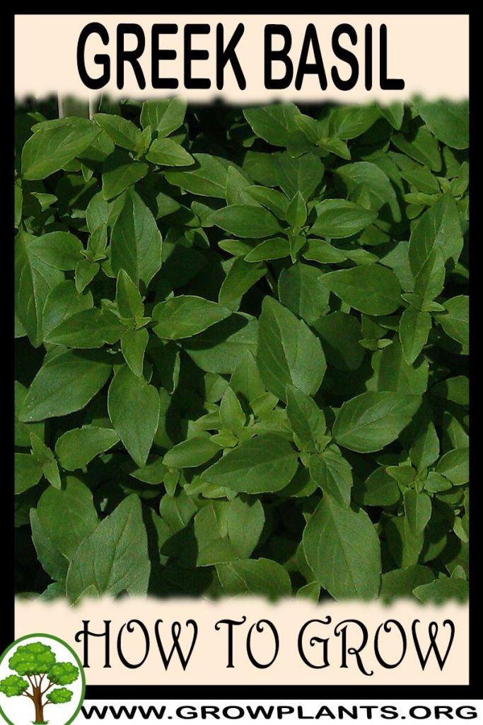 How to grow Greek basil