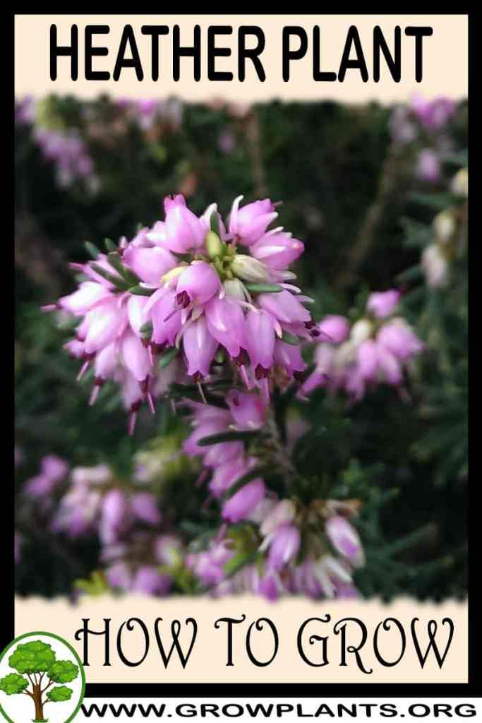 How to grow Heather plant
