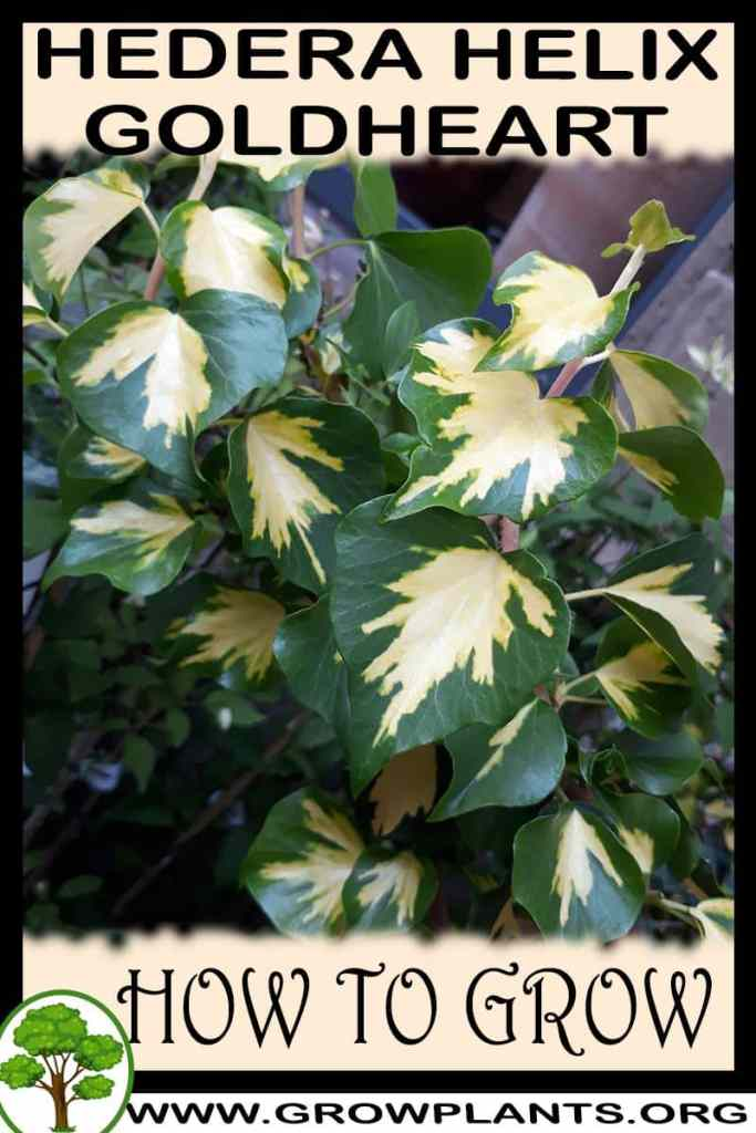 How to grow Hedera helix Goldheart