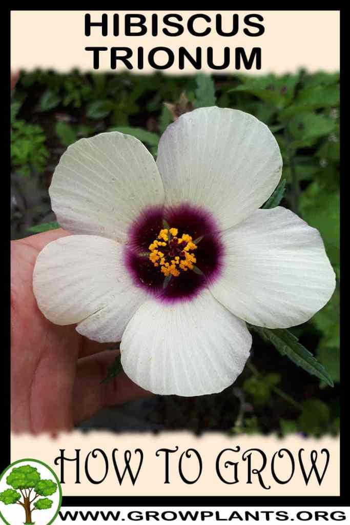 How to grow Hibiscus trionum