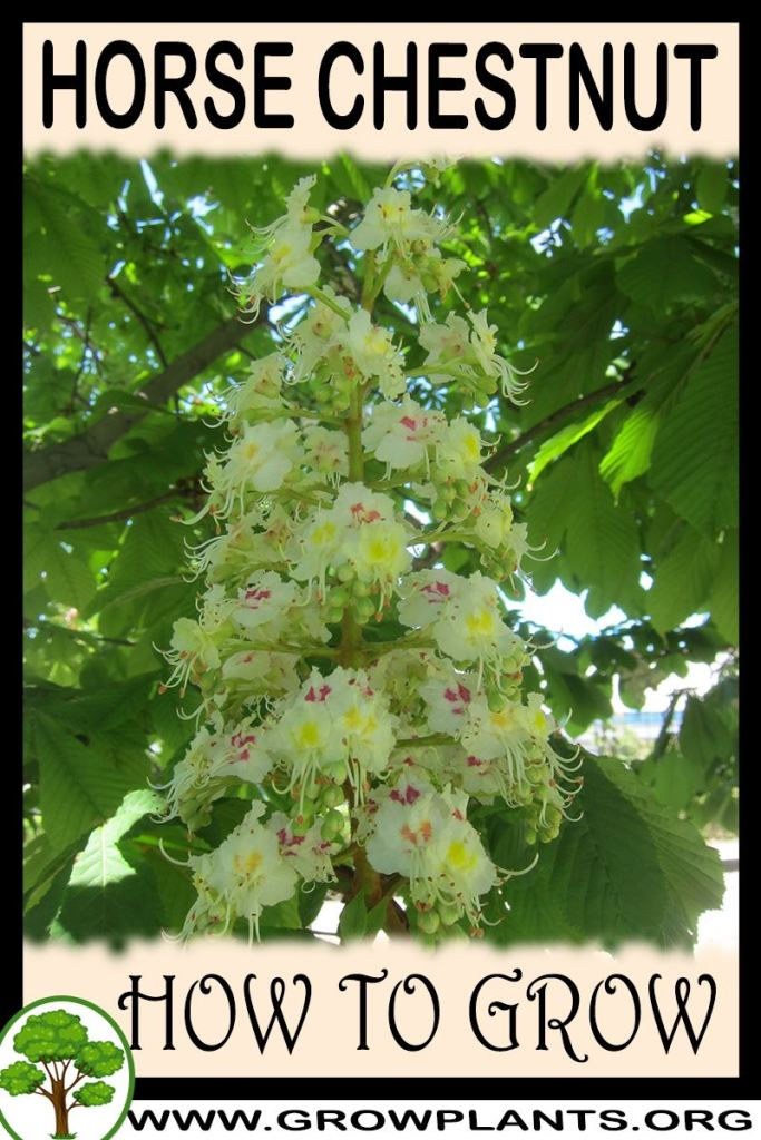 How to grow Horse chestnut