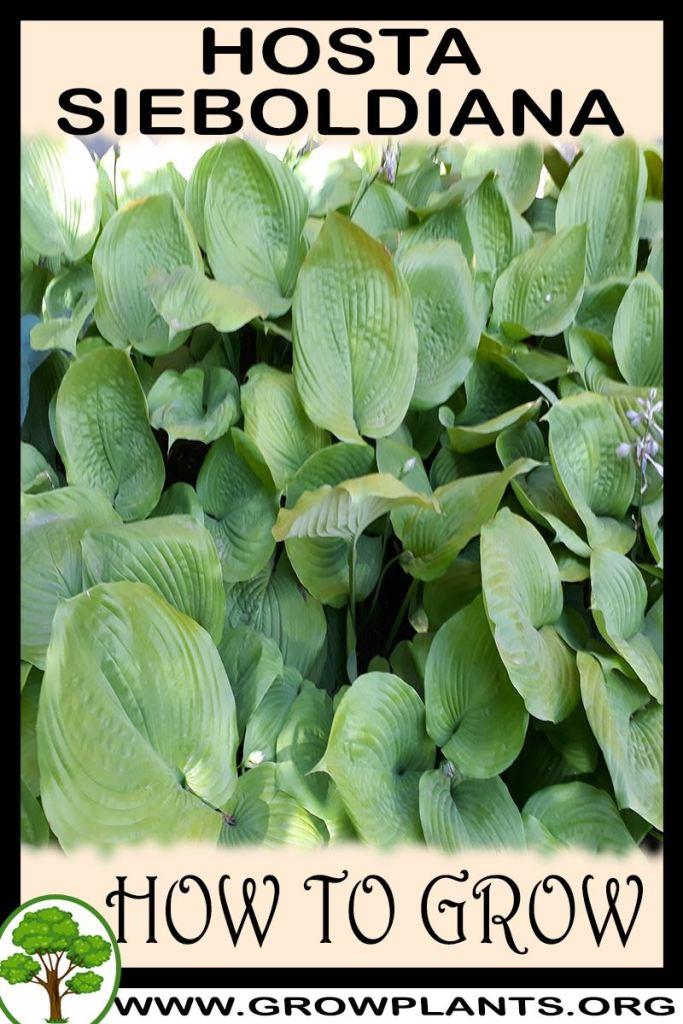 How to grow Hosta sieboldiana