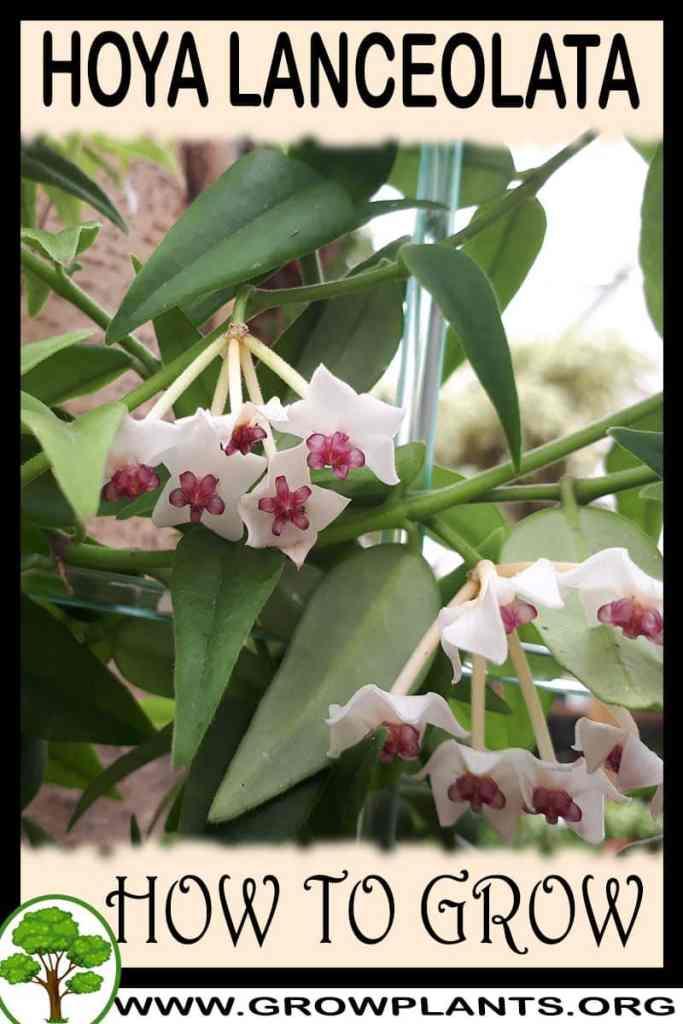 How to grow Hoya lanceolata