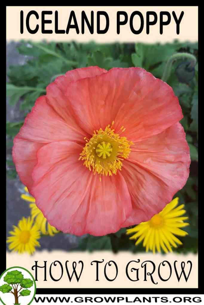 How to grow Iceland poppy