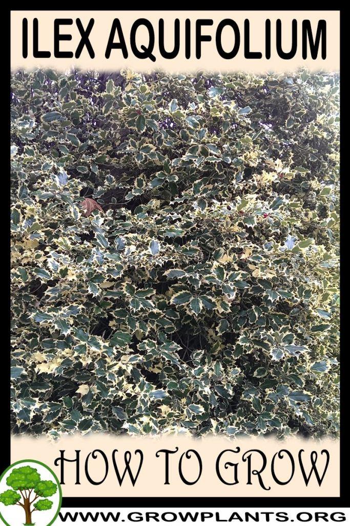 How to grow Ilex aquifolium
