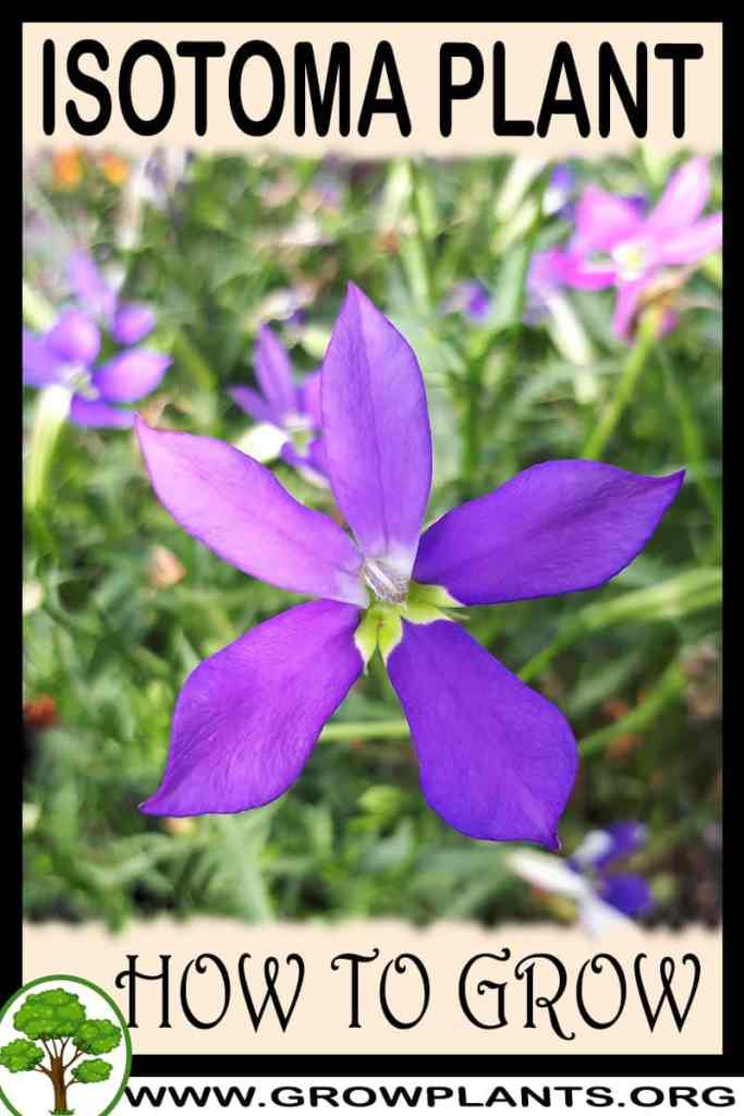 How to grow Isotoma plant