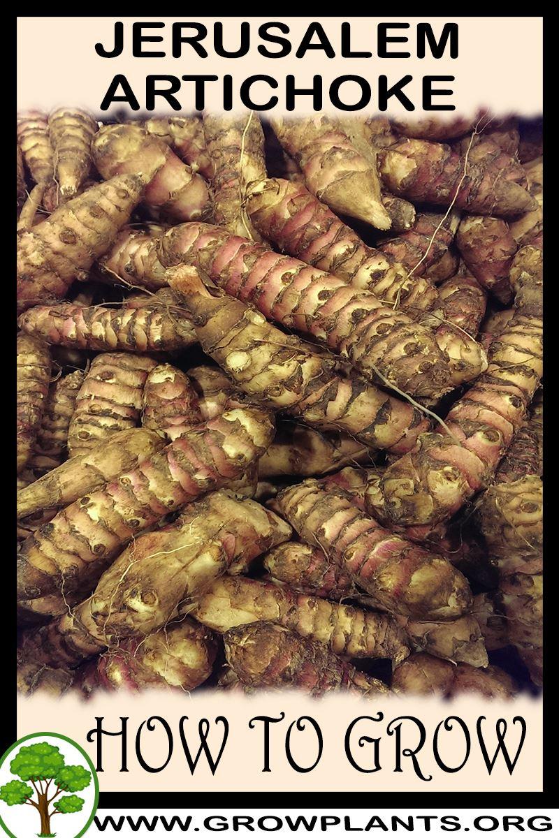 How to grow Jerusalem artichoke