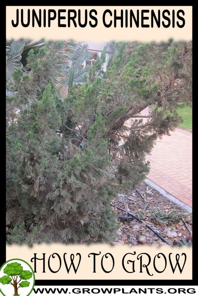 How to grow Juniperus chinensis