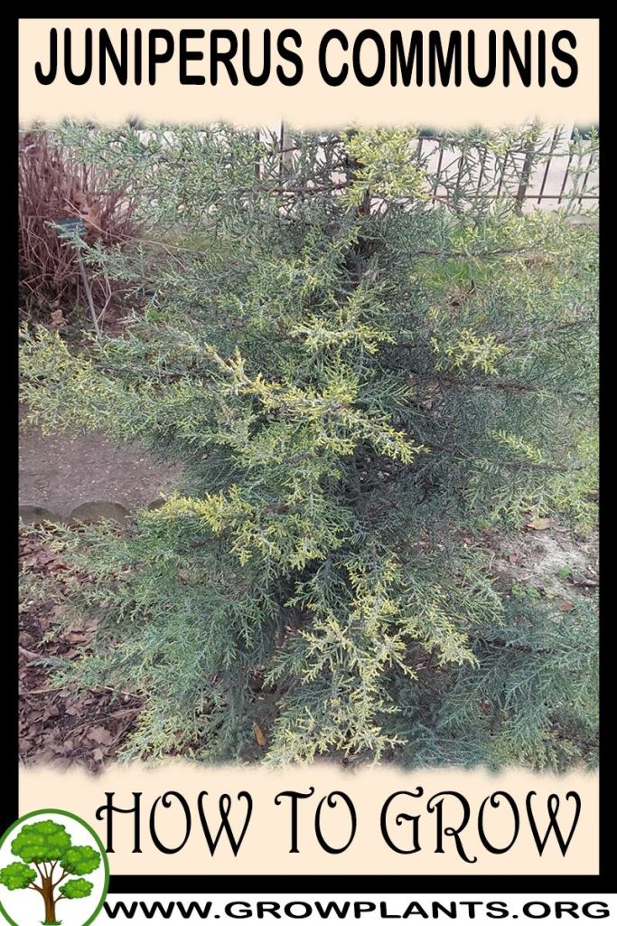 How to grow Juniperus communis