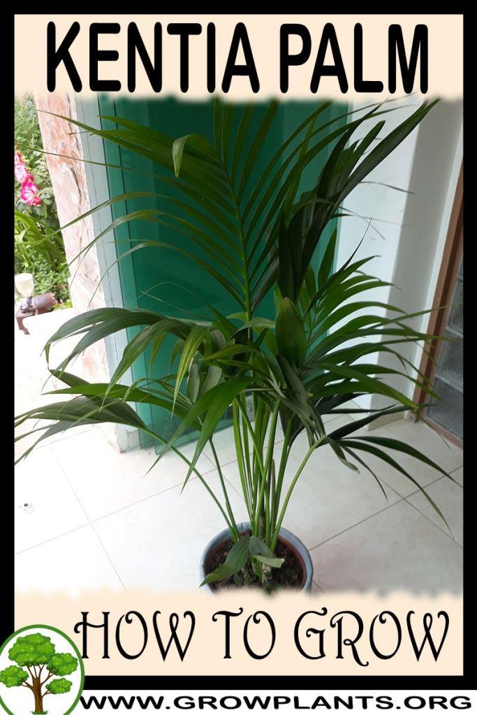 How to grow Kentia palm