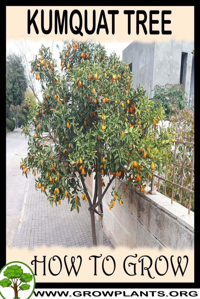 How to grow Kumquat tree