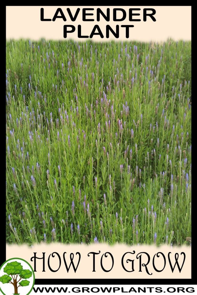 How to grow Lavender plant