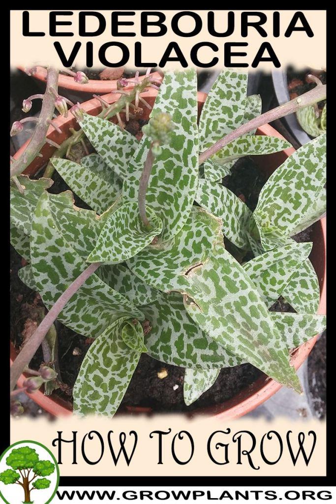 How to grow Ledebouria violacea